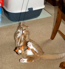 Cosmo (Angryoffinchley) Tags: uk red orange pet cats pets white cute socks cat toy ginger kitten kat chat stripes kittens gato tummy buff mao katze cosmo biss gatto poes kater gat mittens minou chatte kato kissa chaton bushi moggy kocour kut gatz kotka wesa kocka кот kiisu bache maow gorbeh sinta gorbe catua katsi qit besseh míw domadh katjie macë hirrah qitah