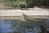 Crocoloco-IZE-260 (Zachi Evenor) Tags: zachievenor israel crocoloco crocolocofarm crocodilefarm crocodiliansfarm crocodile nilecrocodile crocodylusniloticus crocodylus niloticus crocodilia crocodilians haarava riftvalley צחיאבנור ישראל קרוקולוקו חוותקרוקולוקו חוותתנינים חוותתנינאים תניןהיאור תנין היאור תנינים קרוקודיל קרוקודילים תנינאים הערבה 2017 hatzeva 20170221 הזדווגות מזדווגים תניניםמזדווגים mating matingcrocs matingcrocodiles crocs
