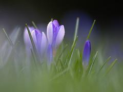 crocus (de_frakke) Tags: flower bloem spring lente crocus blauw blue nature botanicalgardenleuven leuven