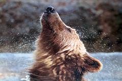 [フリー画像] [動物写真] [哺乳類] [熊/クマ] [水しぶき]       [フリー素材]