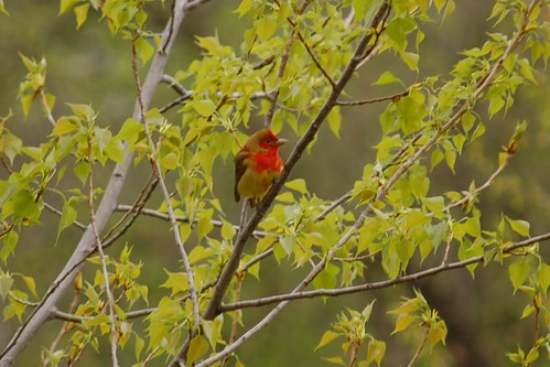 First-spring Summer Tanager