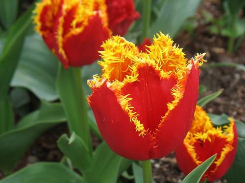 Crimson tulips with gold fringed edges, named Fabio