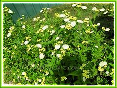 Mussaenda luteola/incana/lutea (White Wing, Dwarf Yellow Mussaenda, Miniature White Flag)