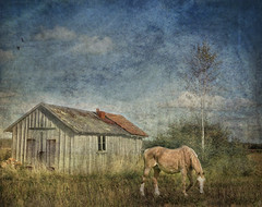 Rural atmosphere. (Bessula) Tags: horse texture nature field rural shed bessula tatot magicunicornverybest magicunicornmasterpiece artistoftheyearlevel3 artistoftheyearlevel4