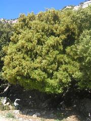 Stein-Eiche am Cuber-Stausee, Mallorca, NGID1550758466 (naturgucker.de) Tags: spanien quercusilex steineiche islasbaleares naturguckerde cuberstausee cwolfgangkatz ngid1550758466