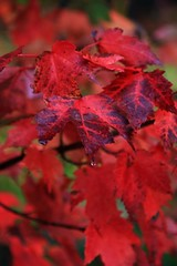 Wet Reds (pic_snapper) Tags: red ontario canada colour fall leaves canon maple muskoka afterrain bala 24105l 40d