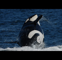 pregnant (Paul Tixier) Tags: pregnant whale orca killerwhale breach golddragon mywinners