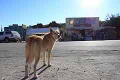Oatman AZ Dog