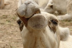 CAMELS FROM KUWAIT (jawadn_99) Tags: portrait detail face animals eyes funny artistic eating camel blonde chewing unusual incredible camels