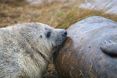 sucklingpup (the_boglin) Tags: seals donnanook