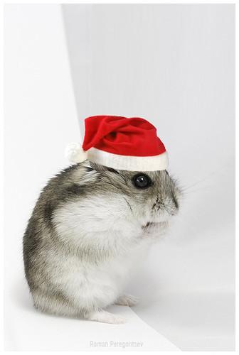 Marvin als Weihnachtshamster