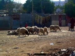 moutons de l'Ad (Corinne Bguin) Tags: sheep morocco maroc casablanca moutons adelkebir