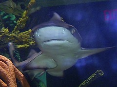 Black-Tip Reef Shark (DianesDigitals) Tags: fish shark sharks blacktipreefshark reefshark carcharhinusmelanopterus dianesdigitals natureinlaceadd15~award2