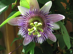Passiflora (iwonao) Tags: passiflora