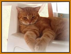 Birillo (PiccolaTerry) Tags: cats cat rosso gatto gatti micio naturesfinest gattone tigrato
