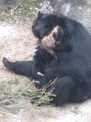 mmm bear dick. (Jill Rachel) Tags: bear penis zoo shy syracuse blackbear syracuseny rosamondgiffordzoo jillrachelphotography beardick