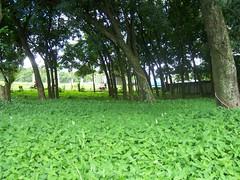 my neighborhood, forest gum  ;p (esi-1) Tags: tree indonesia kodak serpong
