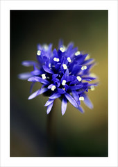(fertraban) Tags: blue flower azul flor asturias asturies naturesfinest abigfave ltytr2 ltytr1 ltytr3