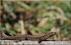 DSC_5383-18-03-08 (r.zap) Tags: varie zap libellule lucertola parcodelticino rzap robertozappaterra