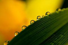 Daffodil drops 2