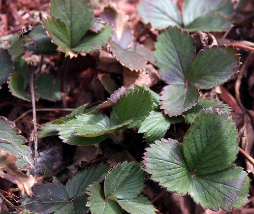 strawberry plant in April