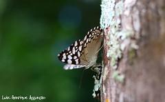 Borboleta II (Luiz Henrique Assunção) Tags: tree canon butterfly eos 50mm borboleta árvore 40d licassuncao