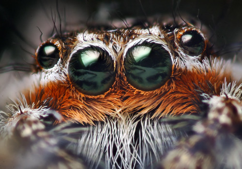 Anterior Median Eyes of a Male Platycryptus undatus Jumping Spider / Thomas Shahan