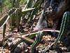 Acanthocereus colombianus and Stenocereus griseus (bunkenburg) Tags: cactaceae acanthocereus stenocereus