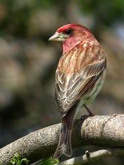 Well, You Finally Came Home! (vtpeacenik) Tags: bird vermont may purplefinch