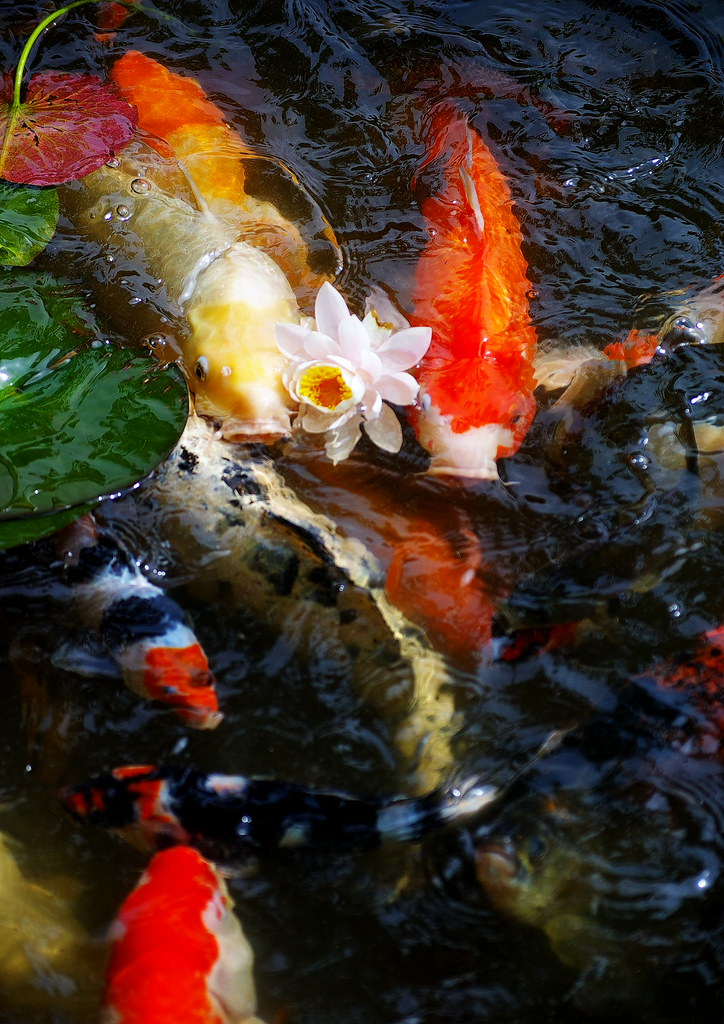The world 39 s best photos of excellentphotographerawards for Koi fish water