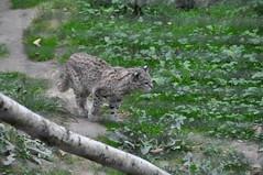 DSC_0217 (Douce Folie) Tags: lion du puma parc tigre lynx flin panthre lopard gupard lionne flins tigredesibrie lionceau tigreblanc canadalynx panthredesneiges panthrenoire couguar lynxboral chatdudsert pardelleservalcaracalmanulmargaychat