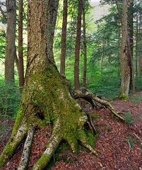 Old-Growth Forest (1)