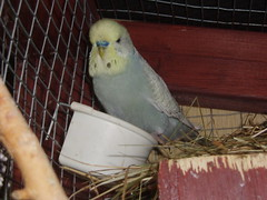 Jaco (Chris....) Tags: bird budgie eneerc