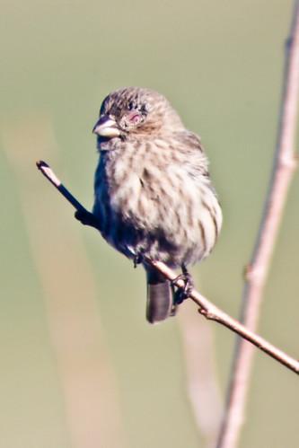 Injured eye - house finch