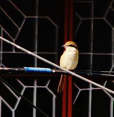 Flickr: Discussing Birds of Bengal in Bengal / Bangla