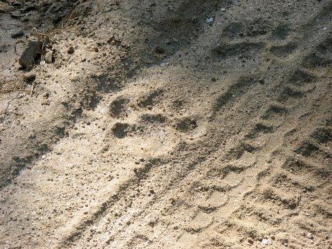 male tiger pugmarks kanha 221207