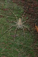 pd-hms9721_301207 (Darren5907) Tags: spider arachnid symmetry camo treetrunk bark camouflage symmetrical lichen arachnids leggy eightlegs longlegs huntsman arachnida camouflaged 8legs araneida huntsmanspider sparassidae blendin longish