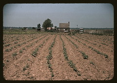 Farm in southern U.S. ... Louisiana?  (LOC) (The Library of Congress) Tags: field louisiana post farm 1940 dry marion dirt crops libraryofcongress forties warming global fsa wolcott sharecropping fsaowi wolcot xmlns:dc=httppurlorgdcelements11 marionpostwolcott dc:identifier=httphdllocgovlocpnpfsac1a34356 lowyield