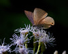 Unidentified butterfly [probably a Ciliate Blue (Anthene emolus)] enjoying a visit to some flowers