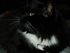Kitty on Folded Paw (Shawn's Kitty (Busy Healing!)) Tags: kitty tuxedo byshawnleimbach