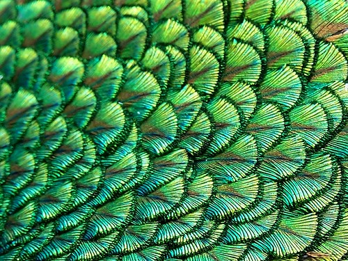 wallpapers of peacock