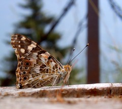 Butterfly (almostblue58) Tags: nature butterfly inserct photofaceoffwinner thechallengegame thechallengegroup challengegamewinner 200000000stagelovers iosonoantifascista