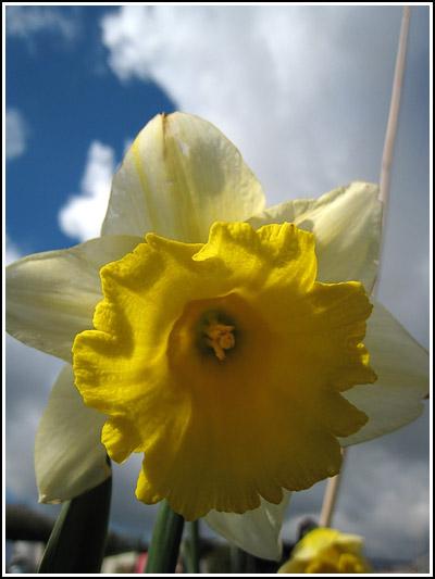 Daffodil; copy