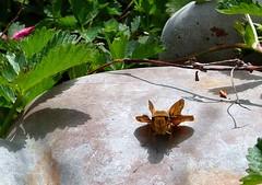 Ready for take off (Lara's  Stuff) Tags: butterfly skipper southerncalifornia anaheim flightplan fieryskipper readyfortakeoff ~meeeandmyshhhaaawooww~~~