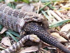 Open wide (J-Fish) Tags: reptile snake lizard hunter prey predator rattlesnake crotalus westernfencelizard sceloporusoccidentalis z612 kodakz612 crotalusoreganus
