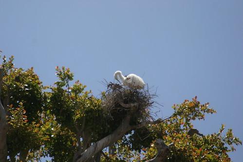 egret nesting at cross creek