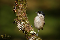 Marsh Tit (ABPhotosUK) Tags: animals birds burrator canon dartmoor devon ef100400mmisii eos7dmarkii marshtit norsworthybridge paridae poecilepalustris seasons tits wildlife winter