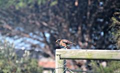2017 Sydney: Botany Bay #24 (dominotic) Tags: sydney nsw australia newsouthwales 2017 bird botanybay beach brightonlesands ladyrobinsonsbeach