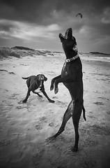 Dogs-BN-1 (Jordi Armengol Photography) Tags: dogs sony a6000 sony16mm28 beach blackandwhite
