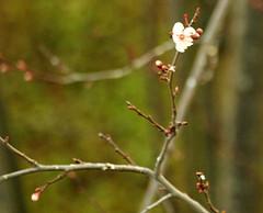 Plum tree 20140214 (caligula1995) Tags: 2015 plumflower plumtree